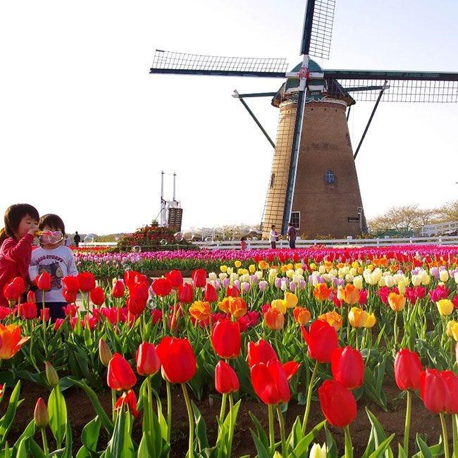 本格オランダ風車も!千葉・佐倉市で「第28回佐倉チューリップフェスタ」開催